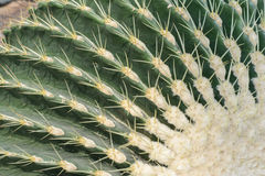 Echinopsis tubiflora. Immortal perennial succulent creamy herb,Stems and globular or oval, green, longitudinal edges of flowers was born in thorn bushes, Cactus Royalty Free Stock Images