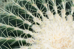Echinopsis tubiflora. Immortal perennial succulent creamy herb,Stems and globular or oval, green, longitudinal edges of flowers was born in thorn bushes, Cactus Stock Photo