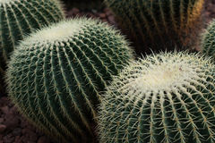 Echinopsis tubiflora. Immortal perennial succulent creamy herb,Stems and globular or oval, green, longitudinal edges of flowers was born in thorn bushes, Cactus Stock Images