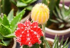 Echinopsis tubiflora Royalty Free Stock Photos