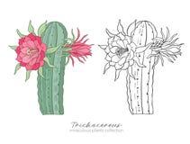 Echinopsis, usine de peruvianus de trichocereus Coloré et contour s Photos stock