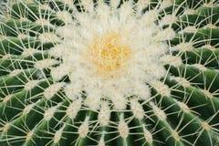 Echinopsistubiflora stock fotografie