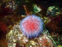 Echinus мальчишкаа моря Стоковые Фото
