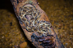 Echis Carinatus; Saw scaled Viper stock photos