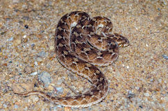 Echis Carinatus; Saw scaled Viper; Little Indian Viper Stock Photo