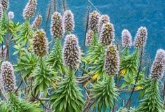 Echium candicans Stock Photo