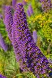 Echium candicans duma madera purpurowi kwiaty Zdjęcia Royalty Free