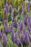 Echium Candicans in full bloom Stock Photo