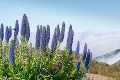 Free Echium Candicans Plant On Mountais, Purple Blossom Stock Photo - 215753910