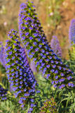 Echium candicans pride of Madeira purple flowers Royalty Free Stock Photos