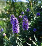 Echium candicans, pride of Madeira, purple flowers Royalty Free Stock Photos