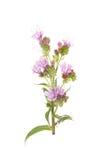 Echium Royalty Free Stock Photo