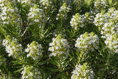 Echium decaisnei, plant endemic to Canary Islands. In Gran Canaria royalty free stock images