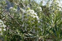 Echium decaisnei, plant endemic to Canary Islands. In Gran Canaria stock photos