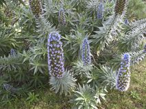 Echium fastuosum flowers stock photo