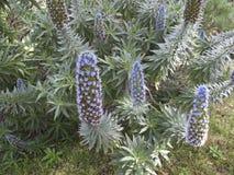 Echium fastuosum kwiaty zdjęcie stock