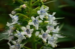 Echium flowers in foreground Royalty Free Stock Photography