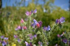 Echium judaeum Lacaita Stock Image