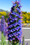 Echium nervosum in Madeira island Stock Photography