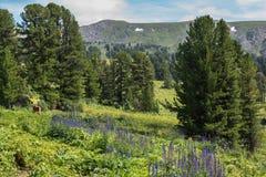 Echium vulgar on a meadow in the background of coniferous forest. Altai Krai. Echium vulgar on a meadow in the background of a coniferous forest. Altai Krai Royalty Free Stock Photos