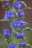 Echium vulgare野花植物,小组在绽放的蓝色花在一个词根 免版税库存图片