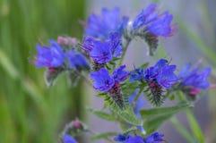 Echium vulgare野花植物,小组在绽放的蓝色花在一个词根 免版税图库摄影