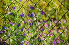 Echium vulgare Lizenzfreie Stockbilder