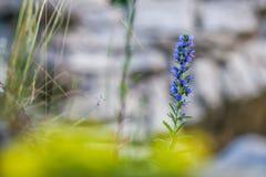 Echium vulgare, der Bugloss der Viper, Blueweed in der Blüte lizenzfreies stockbild