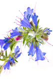 Echium vulgare Stock Photography