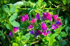 Echium vulgare Stock Image