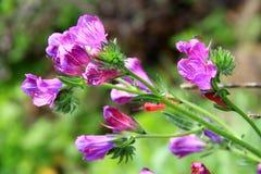 Echium vulgare flowers Stock Photo