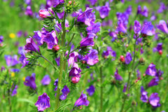 Echium vulgare flowers vary in the colors blue to purple Stock Photography