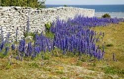 Echium vulgare.JH del Wildflower Fotografie Stock Libere da Diritti
