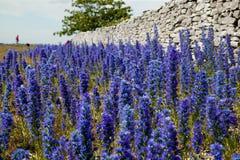 Echium vulgare.JH Wildflower Στοκ εικόνα με δικαίωμα ελεύθερης χρήσης
