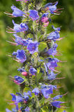 Echium vulgare Stock Photos