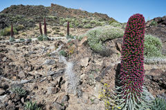 Echium wildpretii flowers in Tenerife national park. Slopes and Teide mount peak are at background Royalty Free Stock Photography