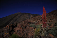 Echium wildpretii, in Tenerife. Echium wildpretii, endemic flower of the island of Tenerife, Teide National Park Royalty Free Stock Images