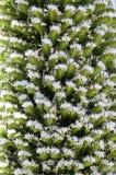 Echium wildpretii in Tenerife, Canary Islands. Stock Photography