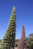 Echium wildpretii in Tenerife, Canary Islands. Stock Images