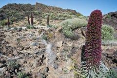 Echiumwildpretiien blommar i den Tenerife nationalparken royaltyfri fotografi