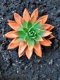 Echiveriya, цветок в оранжевых тонах стоковые изображения rf