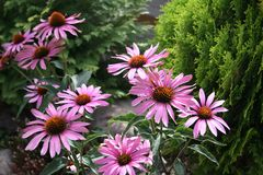 Echniacea - Rudbeckia flowers  in flowerbed Royalty Free Stock Photography
