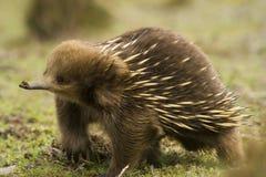 Echnida australiano imagenes de archivo