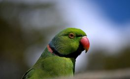 Echo Parakeet Stock Photo