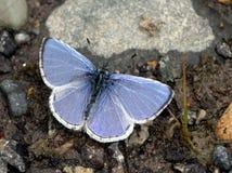 Echowy Lazurowy motyl z skrzydłami Otwiera Fotografia Royalty Free