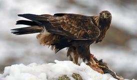 echte adelaar in de sneeuw met een prooi tussen de klauwenhorloges over zijn grondgebied royalty-vrije stock afbeeldingen