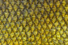Echte de Schalenachtergrond van Zeeltenvissen Stock Foto's
