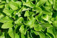 Echte groene bladeren Royalty-vrije Stock Afbeeldingen