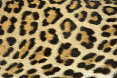 (Echte) het bonttextuur van de luipaard stock foto