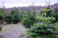 Echte Kerstbomen Royalty-vrije Stock Fotografie